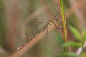 Female Small Emerald Damselfly, I hope