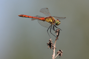 iSpotted Darter male