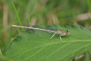 White-legged Damselfly plus