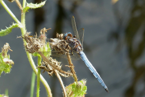 Keeled Skimmer, I THINK!