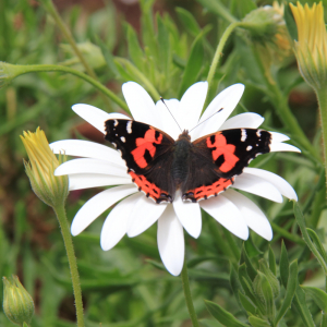 Indian/Macaronesian Red Admiral