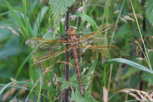 MK Brown Hawker