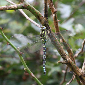 Northern Southern Hawker