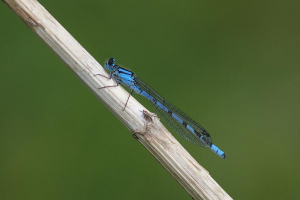 Common Blue Male