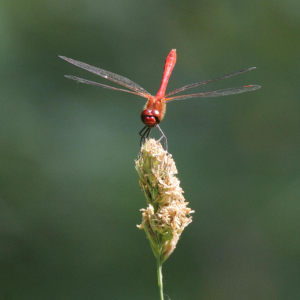 Full Frontal Ruddy Darter