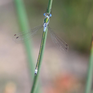 Male Common Emerald/Spreadwing