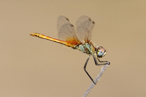 Immature Male Red-veined Darter