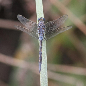 Female Long Skimmer