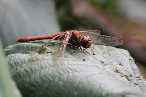 Late Common Darter @ Drakeloe