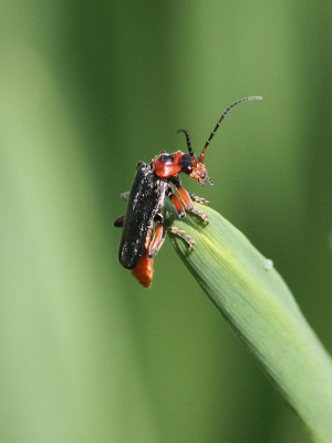 Perched Cantharis