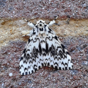 Male Black Arches, I think.