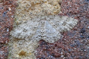 Engrailed perhaps?