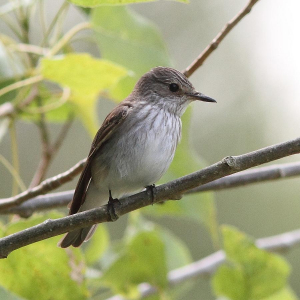 French Spotted Flycatcher