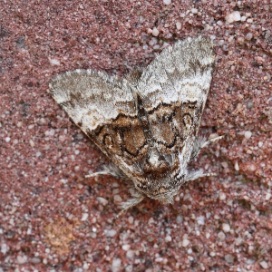 Suspected Nut-tree Tussock