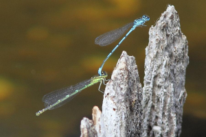 Azure Damsels in tandem in the Zoo