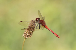 Ruddy Darter @ College