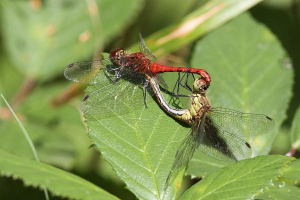 Ruddy Darters in cop
