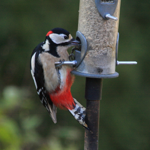 Great Spotted Seed-eater