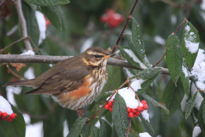 Redwings Return