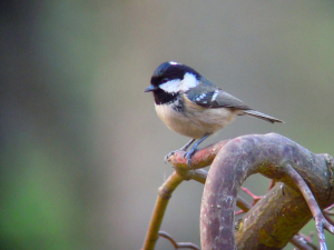 Coal Tit on Acer
