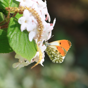 Ascott Orange Tip