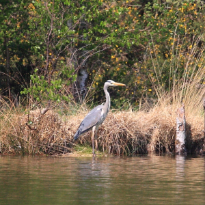 Distant Grey Heron