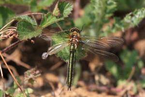 Damaged Downy Emerald female
