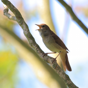 Nightingale in full voice
