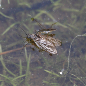 Lunch for a Pond Skater