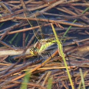 Ovipositing Hairy Dragonfly