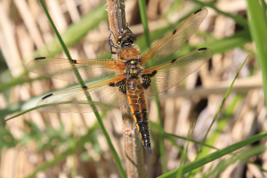 Fresh Four-spotted Chaser