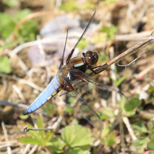 Mature Male Broad-bodied Chaser