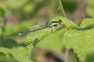 Quite Fresh Red-eyed Damselfly