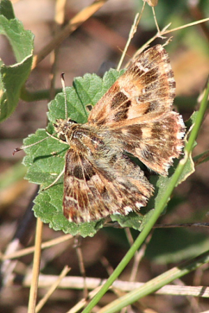 French Skipper
