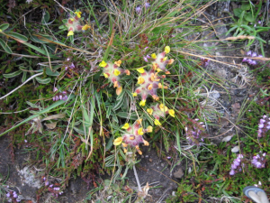 Is this kidney vetch?