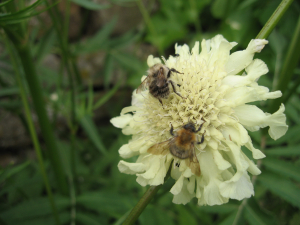 common carder bees