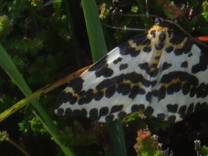moth on photographed on Iona