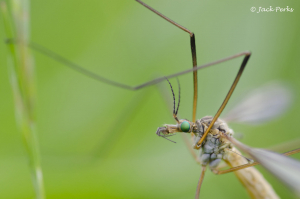 Crane Fly with green eyes