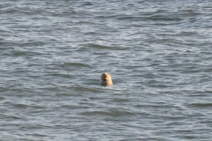common/harbour  seal or grey seal?
