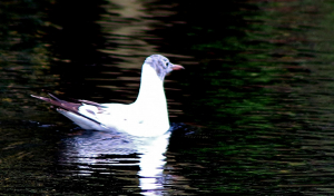 Black-Headed Gulls - Chroicocephalus ridibundus