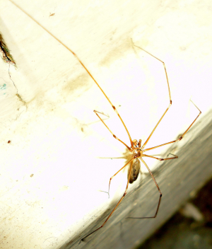 Pholcus phalangioides (Fuesslin 1775)