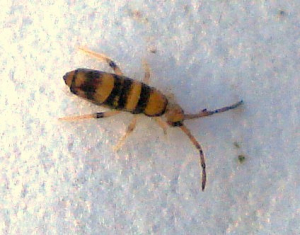 Collembola (Willowsia platani)