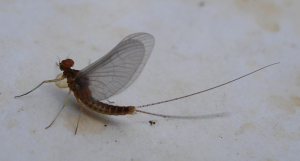 Ephemeroptera indet 13