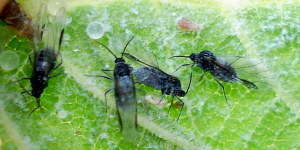 Aphid 85