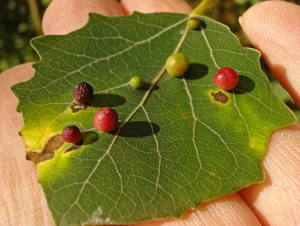 Galls (Harmandia globuli)