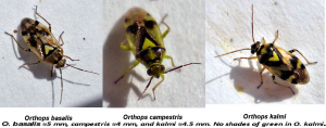 Heteroptera (Miridae (Orthops species))