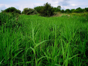 Reed - Sedge Bed Habitat