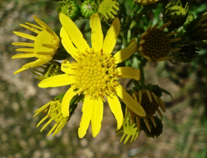 Common Ragwort - Jacobaea vulgaris