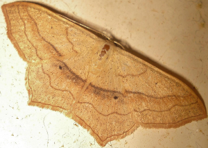 Small Blood-Vein - Scopula imitaria
