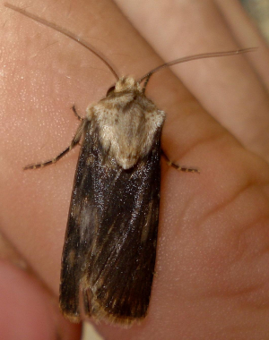 Shuttle-Shaped Dart,Agrotis puta